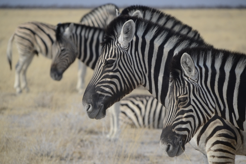Zebra's in Etosha Namibie