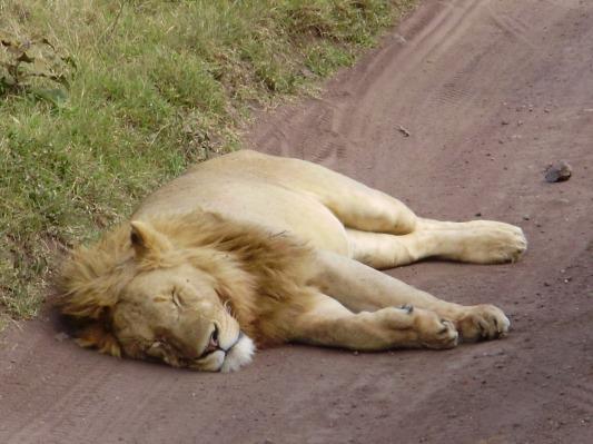 Leeuw slaapt op de zandweg in Ngorongoro