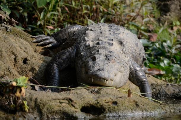 Krokodil in Chitwan