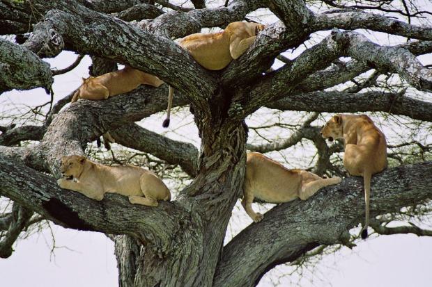 Bomenklimmende leeuwen Manyara blog