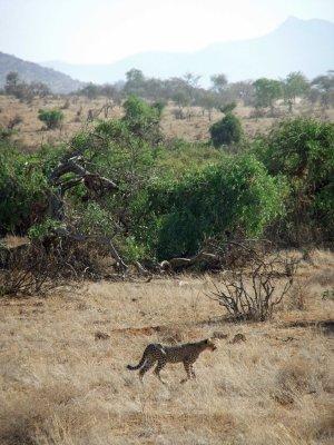 Samburu park Kenia cheeta blog