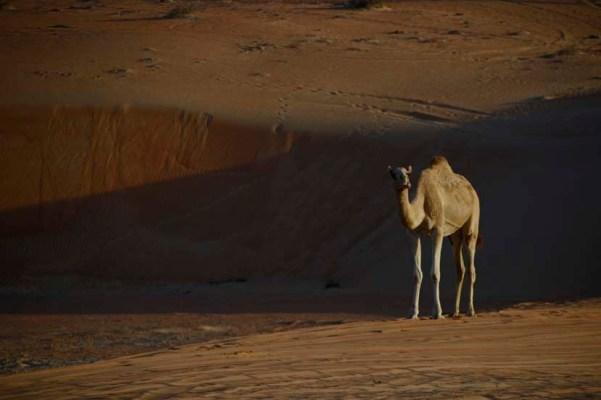 kameel in woestijn oman