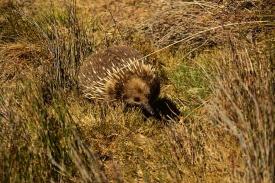 echidna-tasmanie