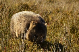 wally-de-wombat-tasmanie-cradle-mountain